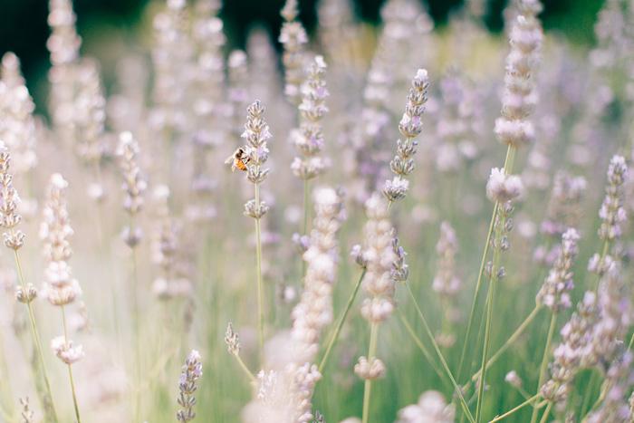Lavender field in Italy