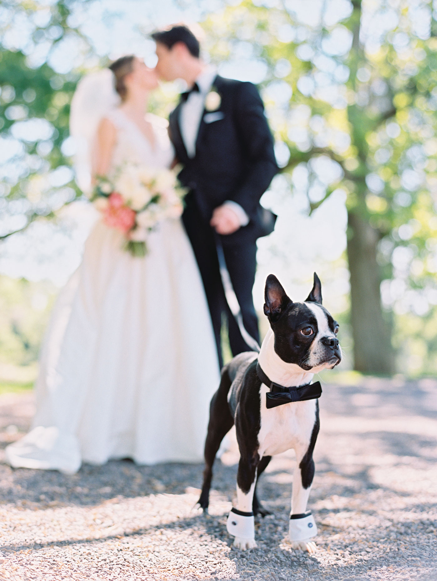 boston terrier ring bearer